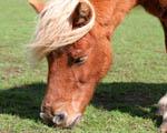 Obrázek - Malý Poník se pase na zelené trávě