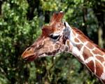 Obrázek - Žirafa ve volné přírodě