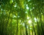 Japonský bambusový les