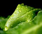 Obrázek - Čerstvé kapky rosy na listech
