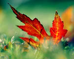 Obrázek - Krásně zbarvený javorový list na podzim