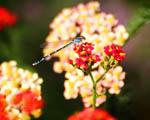 Obrázek - Vážka sedící na květině v detailu