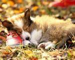 Obrázek - Pejsek spící na botě