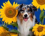 Obrázek - Pejsek mezi slunečnicemi