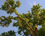Obrázek - Koruna stromu