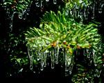 Obrázek - Omrzlé konečky smrku