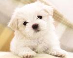 Obrázek - Roztomilé bílé štěňátko