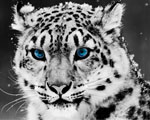 Obrázek - Modrooký sněhobílý leopard