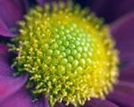 Obrázek - Střed květiny v detailu