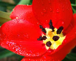 Obrázek - Otevřený květ máku