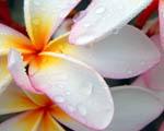 Obrázek - Rosou pokropená krása