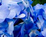 Obrázek - Modrý samet