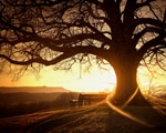 Obrázek - Paprsky slunce splétající starý strom