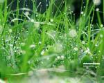 Obrázek - Kapky rosy na upravené trávě