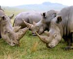 Obrázek - Stádo nosorožců v Africe