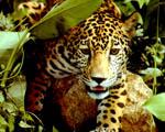Obrázek - Jaguár ve střehu