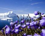 Obrázek - Růžové arktické květiny
