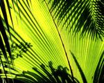 Obrázek - Palmový list a stíny
