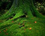 Obrázek - Mechem prorostlý kmen stromu