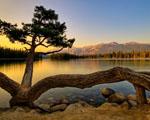 Obrázek - Pavoučí strom u jezera v Kanadě