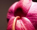 Obrázek - Květ orchideje v detailu