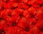 Obrázek - Spousta červených květin
