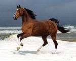 Obrázek - Kůň u moře
