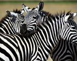 Obrázek - Zebry ze Safari