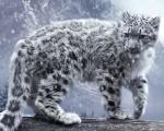 Osamocený bílý leopard