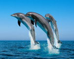 Obrázek - Rodina delfínů na výletě