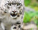 Obrázek - Neuvěřitelný záběr na bílého tygra