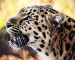 Obrázek - Náš přítel Leopard v detailu