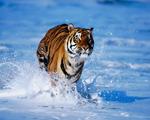 Obrázek - Detailní záběr na běžícího tygra ve vodě
