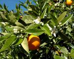 Obrázek - Čas sklizně pomerančů