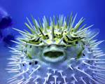 Obrázek - Tak trochu pichlavá ryba