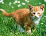 Obrázek - Zrzavé kotě