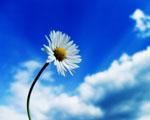 Obrázek - Krása jedné sedmikrásky