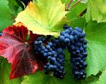 Obrázek - Různobarevné listy a hrozen červeného vína