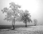 Obrázek - Zmrzlý strom