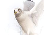 Obrázek - Křišťálově bílý holub