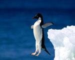 Obrázek - Skok odvážného tučňáka