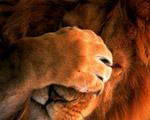 Obrázek - Nechápající král zvířat