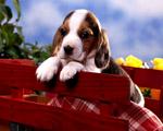 Obrázek - Malé štěně bígla na lavičce