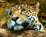 Obrázek - Zamyšlený mladý tygr