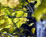 Obrázek - Krásně zbarvené listy stromu