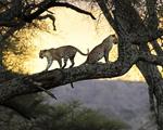 Obrázek - Zamilovaný pár leopardů