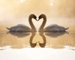 Obrázek - Zamilované labutě