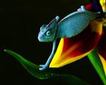 Obrázek - Chameleon v modrém