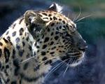 Obrázek - Leopard v detailu