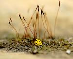 Obrázek - Žlutá beruška